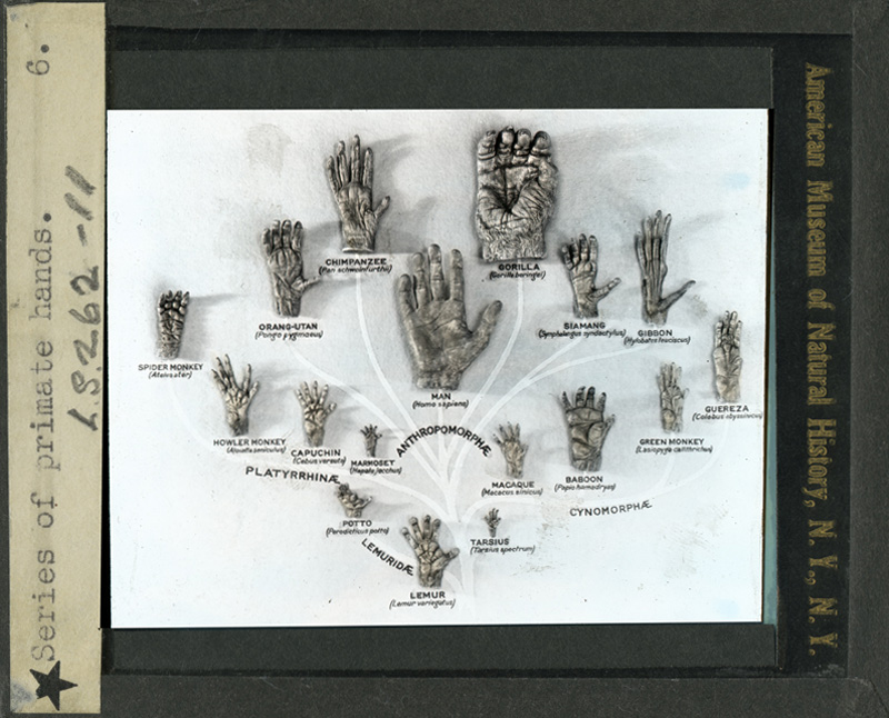 Primatology palm reading! Primate-hands-tree-american-museum-of-natural-history