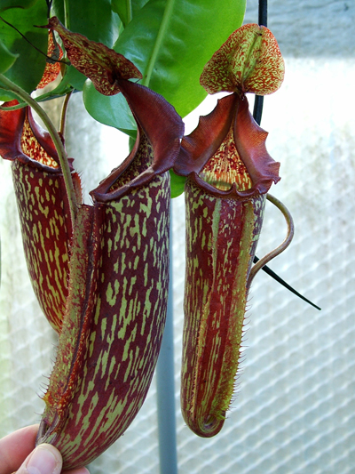 Nepenthes Maxima (Je crois ???) Identification et questions SVP Nmc084-nepenthes-maxima-245-p