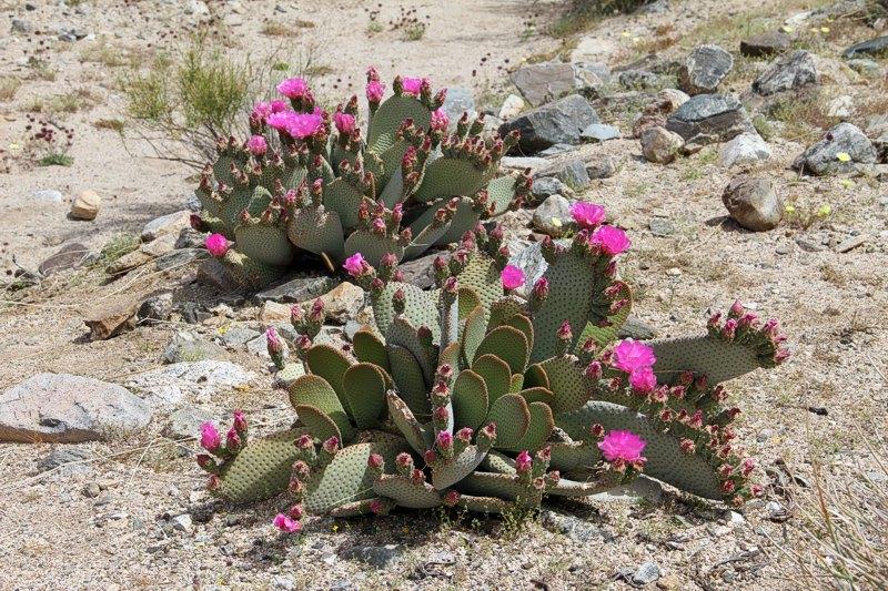 Opuntia basilaris var. basilaris Opuntia_basilaris_ssp_basilaris_2011_2