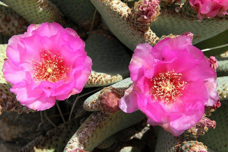 Opuntia basilaris var. basilaris Opuntia_basilaris_ssp_basilaris_2011_3