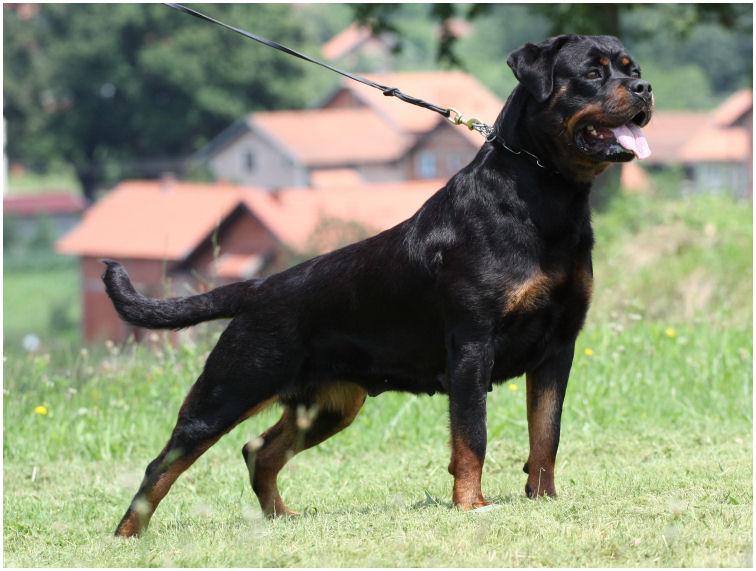 Rottweiler Priska29.06.2010-1
