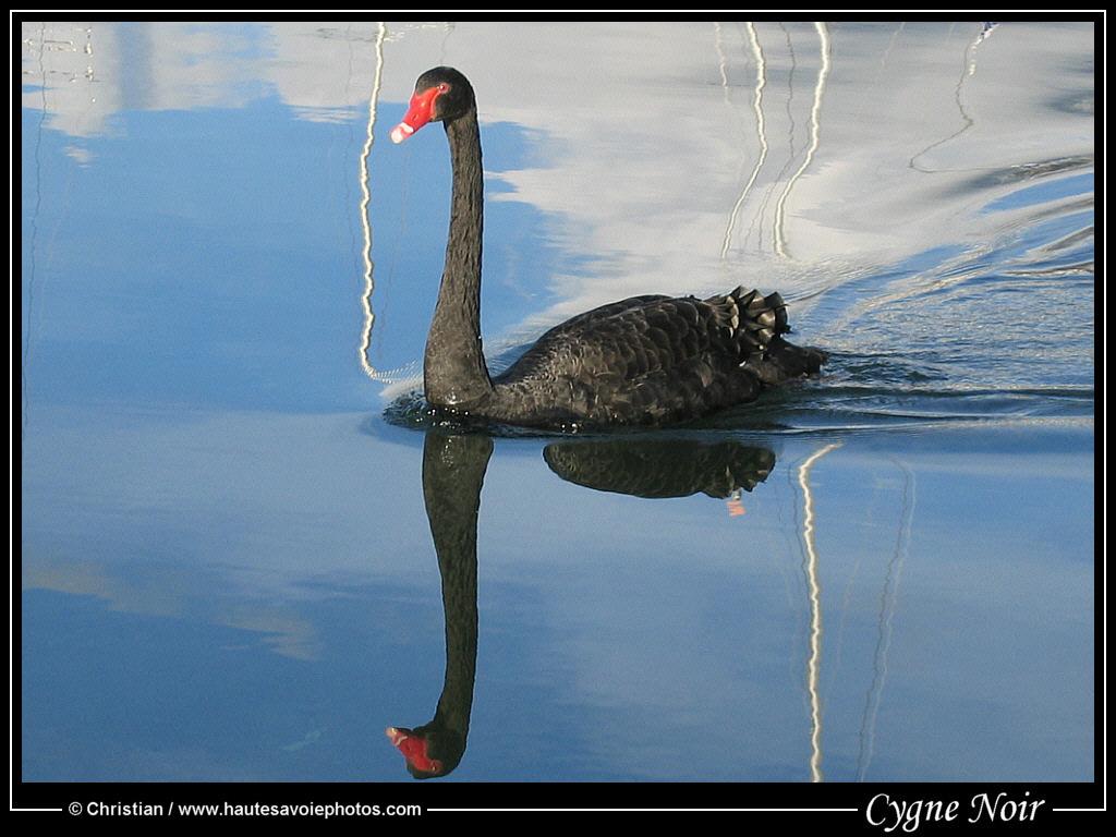 [Jeu] Association d'images - Page 5 Cygne_noir