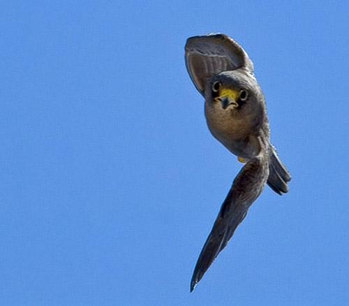 Falconiformes. sub Falconidae - sub fam Falconinae - gênero Falco Sooty1