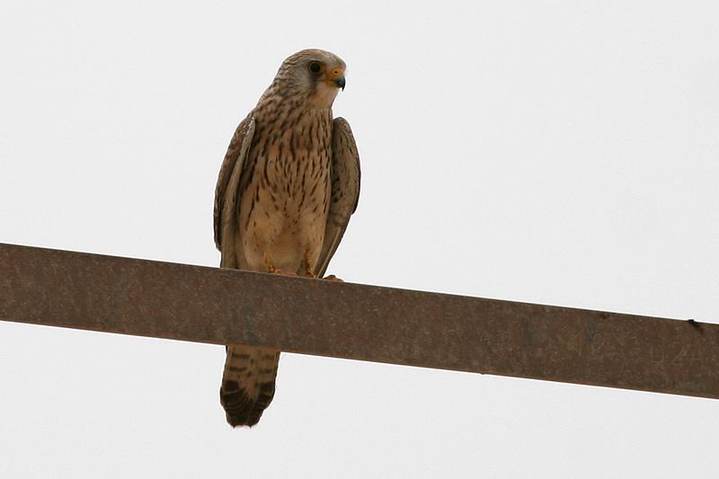 Falconiformes. sub Falconidae - sub fam Falconinae - gênero Falco - Página 2 L-Kestrel_F