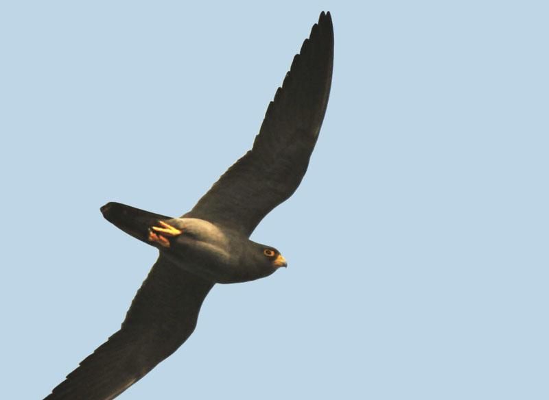 Falconiformes. sub Falconidae - sub fam Falconinae - gênero Falco Sootyfalcon