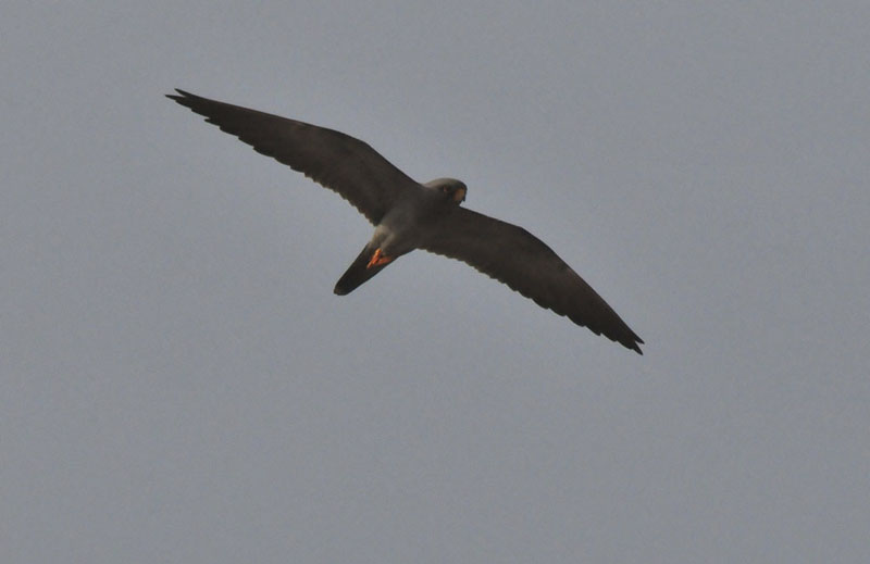 Falconiformes. sub Falconidae - sub fam Falconinae - gênero Falco Sootyfalcon1