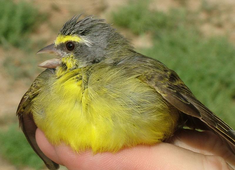 طيور وحيوانات بريه Yellowfinch