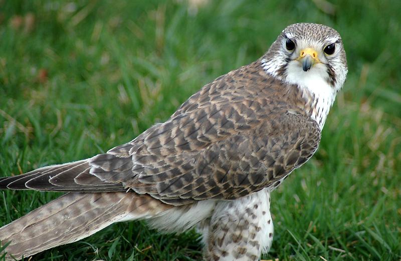 Falconiformes. sub Falconidae - sub fam Falconinae - gênero Falco - Página 2 PrairieFalcon