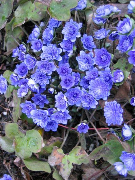 Hepatica nobilis 4e68dfa32b303-429-572