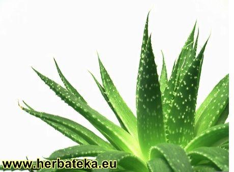 Lečenje ~ po biljkama Aloa1