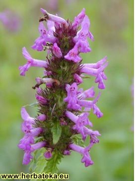 Lečenje ~ po biljkama Betonicaofficinalis
