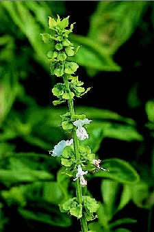 Lekovite biljke Bosiljak1