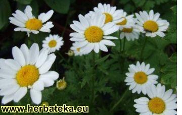 Lekovite biljke Chamomile