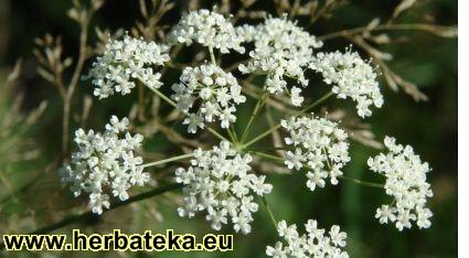 Lečenje ~ po biljkama Pimpinellasaxifraga