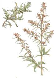 Glosario y propiedades mágicas de las plantas Artemisa