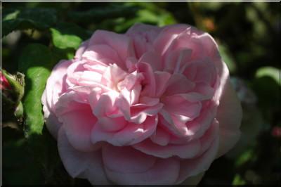 Rosa 'Fantin Latour' !!! 28_fantin-latour-5040