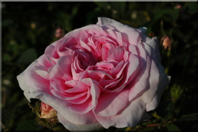 Rosa 'Konigin Von Denmark' !!! 6_koenigin-von-daenemark-4870