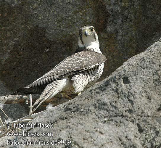 Falconiformes. sub Falconidae - sub fam Falconinae - gênero Falco Falco_biarmicus_dc9919