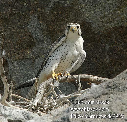 Falconiformes. sub Falconidae - sub fam Falconinae - gênero Falco Falco_biarmicus_dc9939