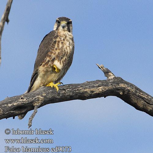 Falconiformes. sub Falconidae - sub fam Falconinae - gênero Falco Falco_biarmicus_ed9073
