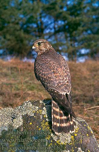Falconiformes. sub Falconidae - sub fam Falconinae - gênero Falco Falco_columbarius_2162