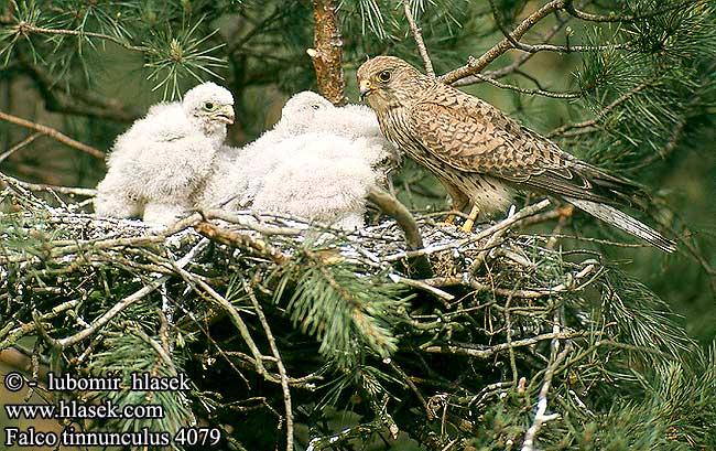 Falconiformes. sub Falconidae - sub fam Falconinae - gênero Falco - Página 3 Falco_tinnunculus_4079