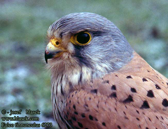 Falconiformes. sub Falconidae - sub fam Falconinae - gênero Falco - Página 3 Falco_tinnunculus_6273