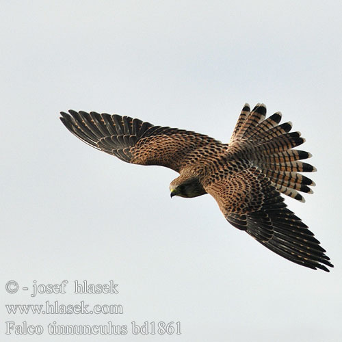 Falconiformes. sub Falconidae - sub fam Falconinae - gênero Falco - Página 3 Falco_tinnunculus_bd1861