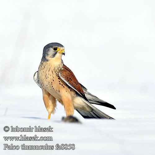 Falconiformes. sub Falconidae - sub fam Falconinae - gênero Falco - Página 3 Falco_tinnunculus_fa8858