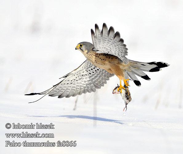 Falconiformes. sub Falconidae - sub fam Falconinae - gênero Falco - Página 3 Falco_tinnunculus_fa8866