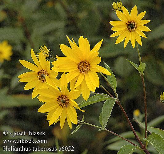 Topinambur Helianthus_tuberosus_a6052