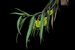 Hoa gieo tứ tuyệt 3 - Page 3 Un-lancifolia2