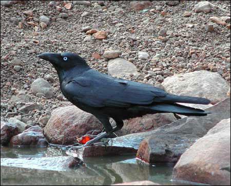 الغراب والشحرور وطائرالجنة Crow1