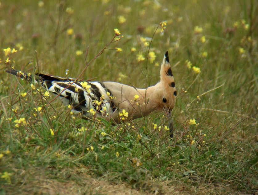 طائر الهدهد Hoopoe_b