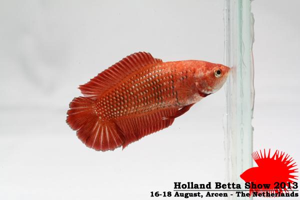 Bettas4all presents the Holland Betta Show 16-18 August 2013 HBS2013-F4Allcolors-2