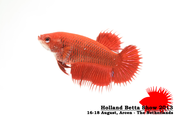 Bettas4all presents the Holland Betta Show 16-18 August 2013 HBS2013-F5Allcolors-2