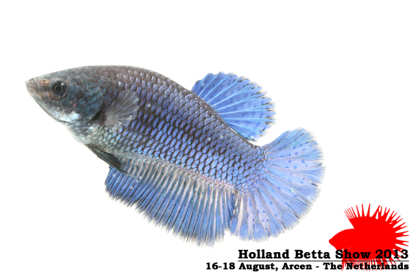 Bettas4all presents the Holland Betta Show 16-18 August 2013 HBS2013-F7UnicolorDB-1