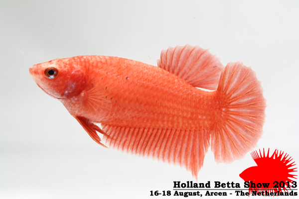 Bettas4all presents the Holland Betta Show 16-18 August 2013 HBS2013-F7UnicolorLB-1