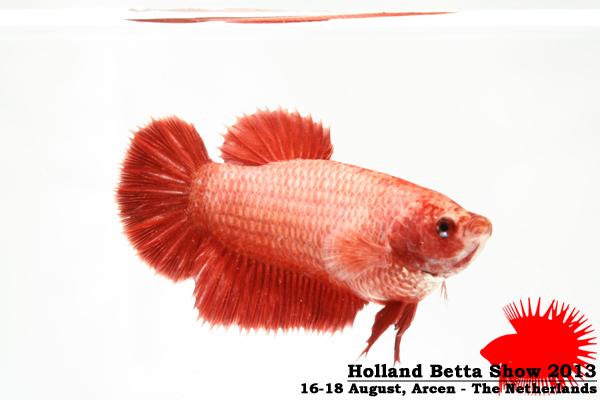 Bettas4all presents the Holland Betta Show 16-18 August 2013 HBS2013-F7UnicolorLB-2
