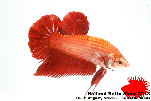 Bettas4all presents the Holland Betta Show 16-18 August 2013 HBS2013-M10Allcolors-1