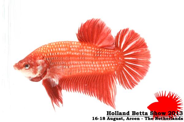 Bettas4all presents the Holland Betta Show 16-18 August 2013 HBS2013-M10Allcolors-2