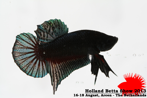 Bettas4all presents the Holland Betta Show 16-18 August 2013 HBS2013-M1Allcolors-1