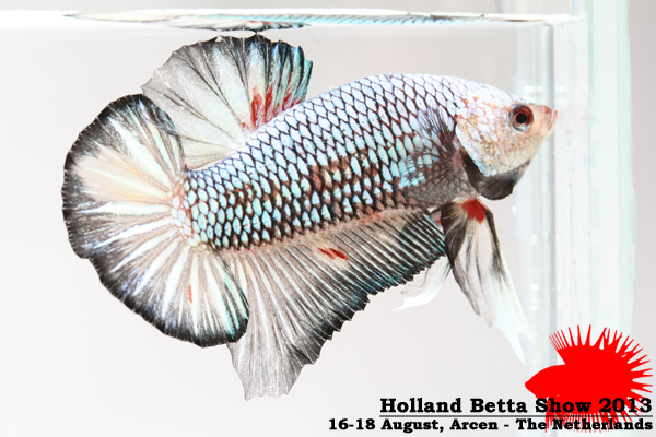 Bettas4all presents the Holland Betta Show 16-18 August 2013 HBS2013-M2AOC-1