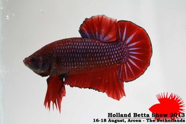 Bettas4all presents the Holland Betta Show 16-18 August 2013 HBS2013-M2AOC-3