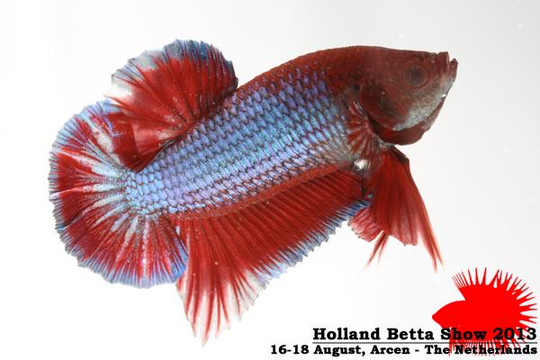 Bettas4all presents the Holland Betta Show 16-18 August 2013 HBS2013-M2AOC-4