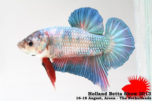 Bettas4all presents the Holland Betta Show 16-18 August 2013 HBS2013-M2Marble-1