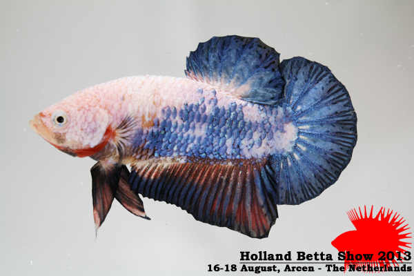 Bettas4all presents the Holland Betta Show 16-18 August 2013 HBS2013-M2Marble-4