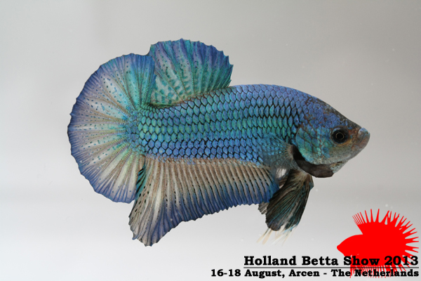 Bettas4all presents the Holland Betta Show 16-18 August 2013 HBS2013-M2UnicolorIridescent-1