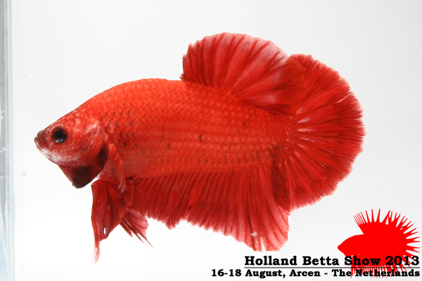 Bettas4all presents the Holland Betta Show 16-18 August 2013 HBS2013-M2UnicolorNon-Iridescent-1