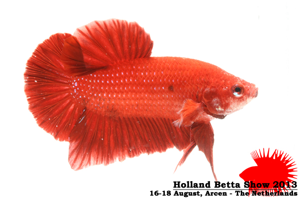 Bettas4all presents the Holland Betta Show 16-18 August 2013 HBS2013-M2UnicolorNon-Iridescent-2